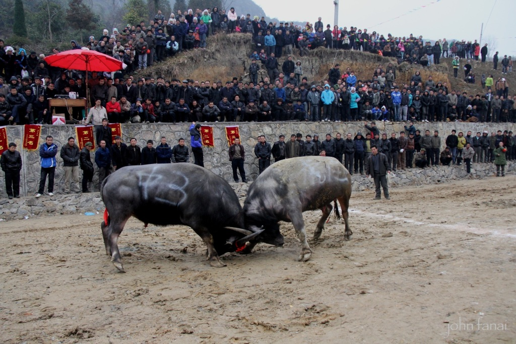 Miao Bullfighting festival