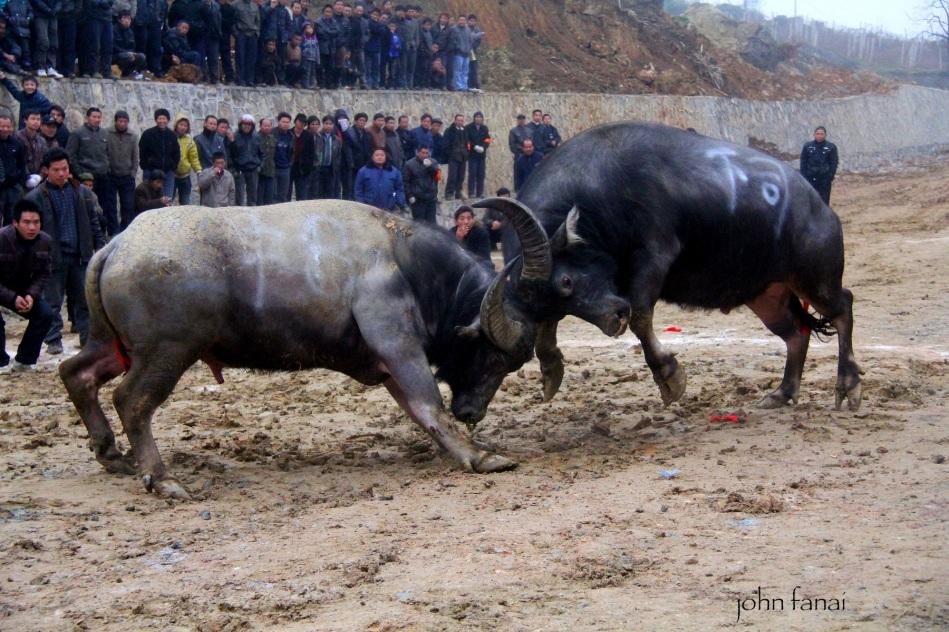 Bullfighting festival Miao Guizhou